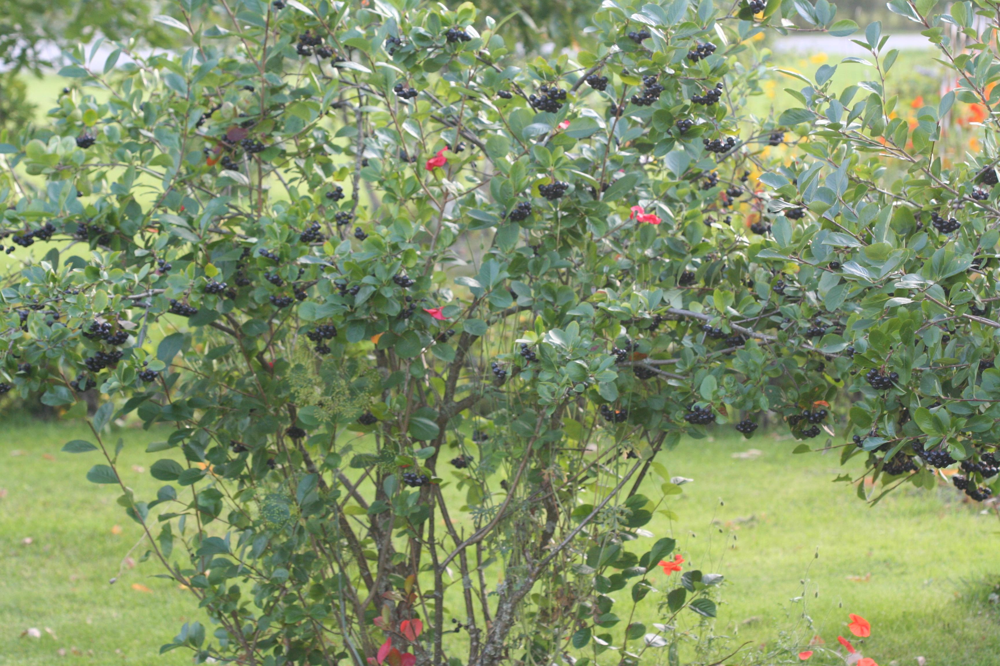 Когда посадить рябину: весной или 52